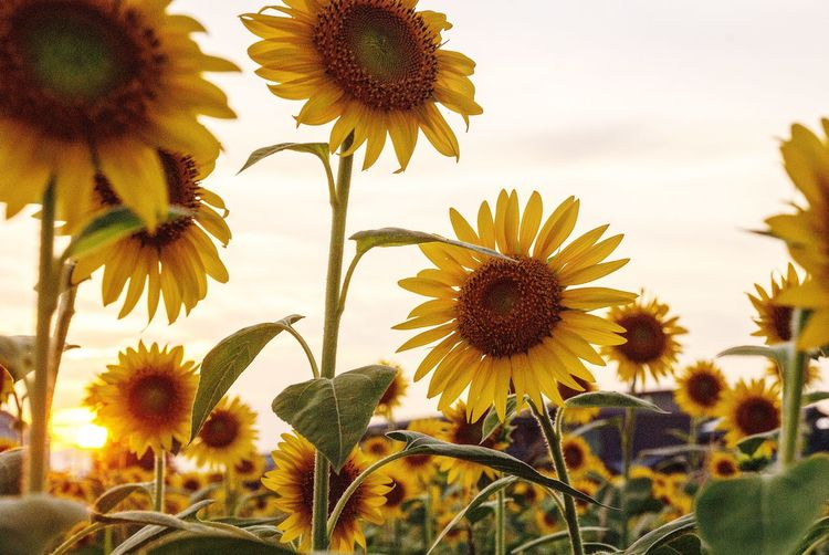 Flower Growth Petal Nature Beauty In Nature Plant Flower Head Fragility Freshness No People Outdoors Field Sunflower Day Pollen Yellow Sky Blooming Close-up