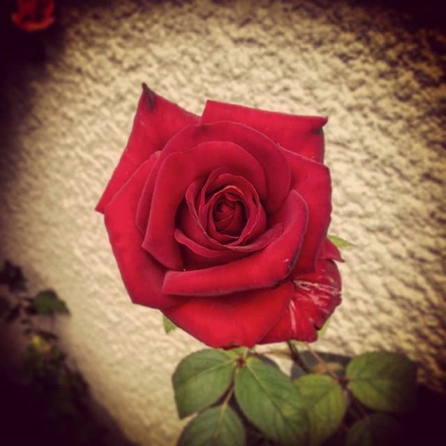Une jolie rose rouge! Massivebd Red Roses Rosesarered picoftheday igers instagram roserouge flower rouge love