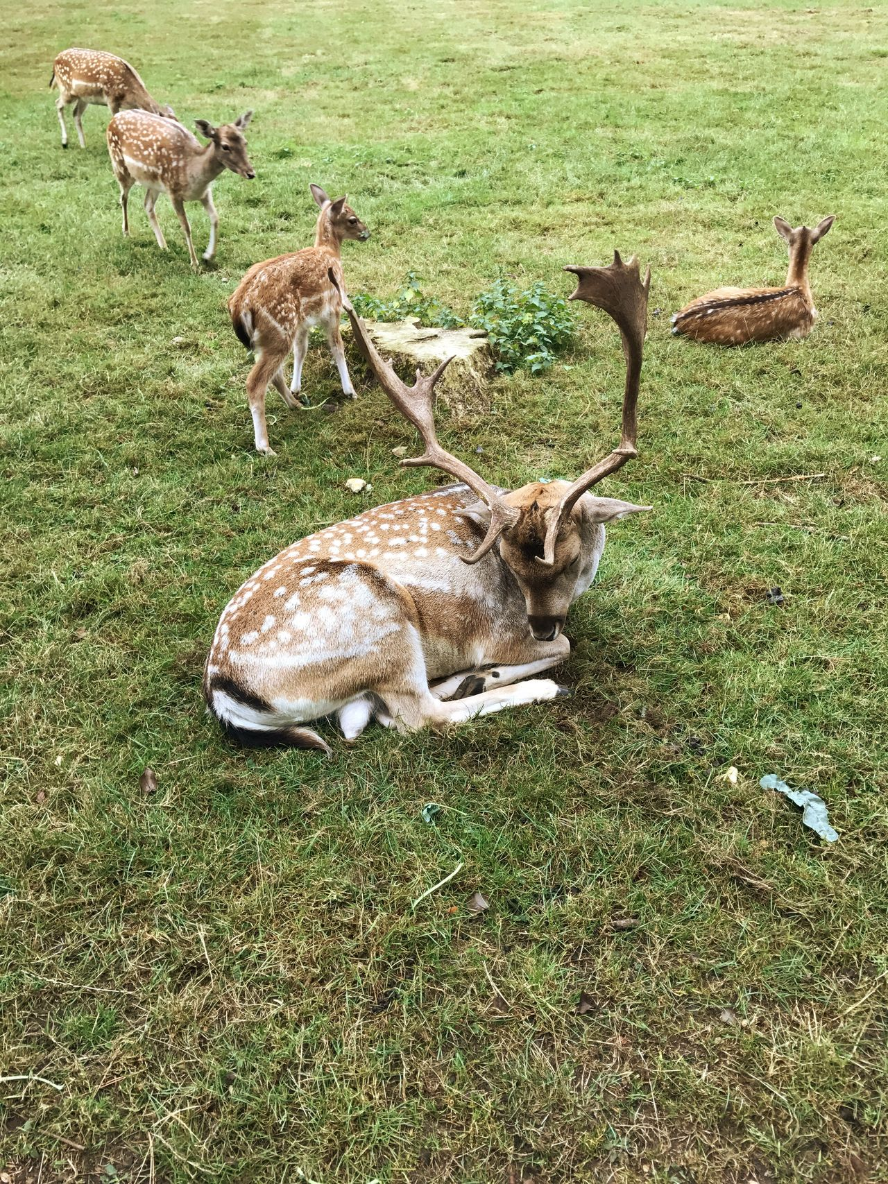 Deer Roe Deer Animals Field Animal Themes Grass Mammal Livestock Domestic Animals Grassy Herd Herbivorous Green Color Outdoors Zoology Domestic Cattle Day Animal No People