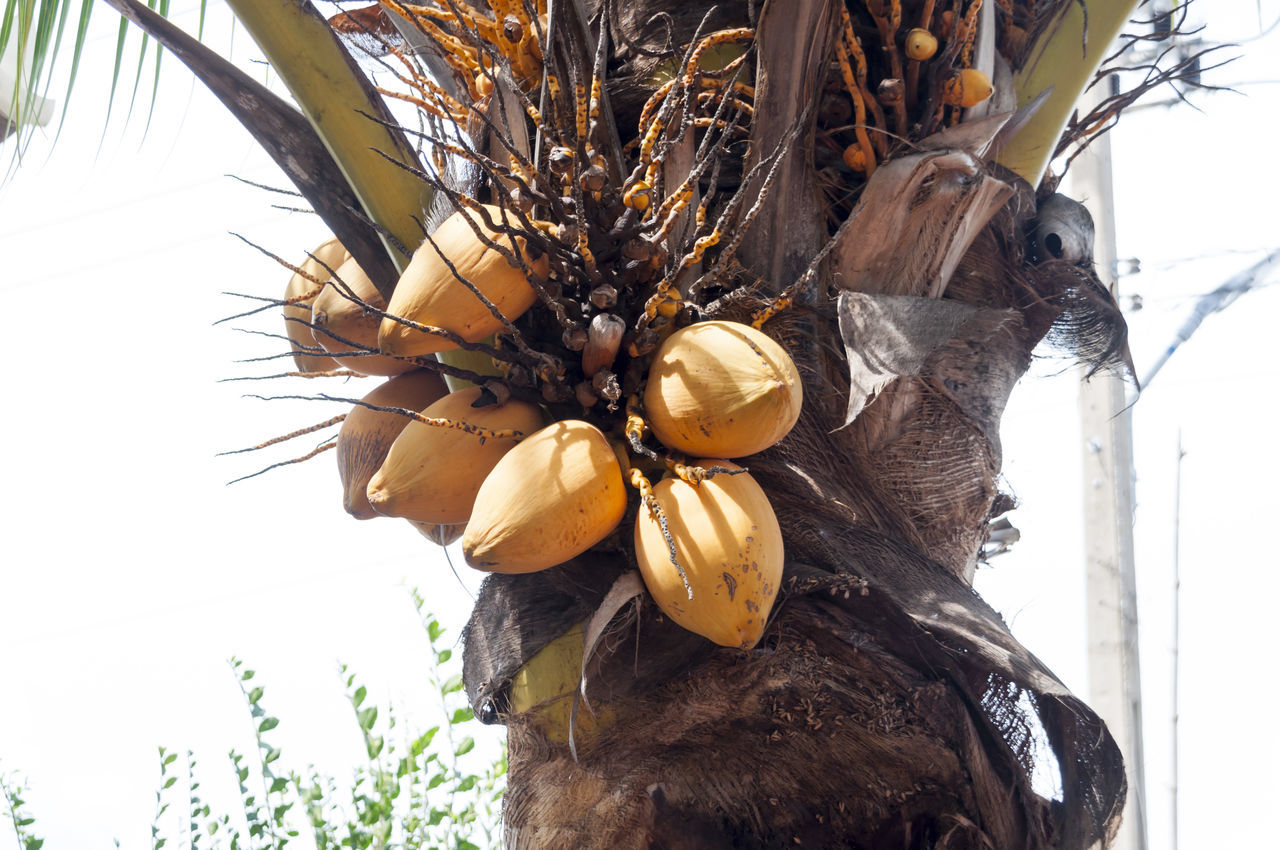 Low Angle View Of Coconuts Growing On Palm Tree