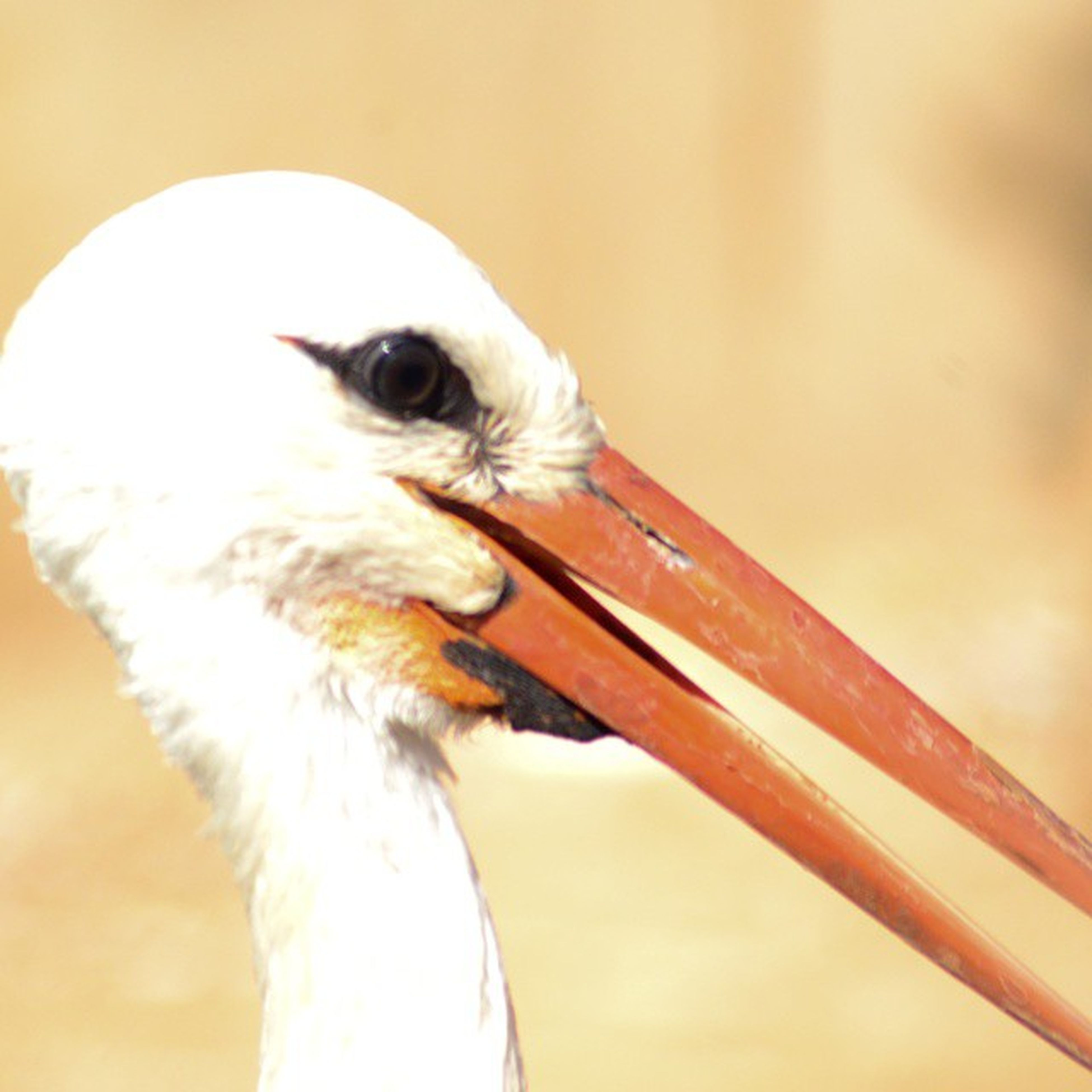 animal themes, one animal, bird, close-up, wildlife, animal head, focus on foreground, animals in the wild, indoors, domestic animals, pets, beak, looking away, animal body part, part of, side view, white color, zoology, day, selective focus