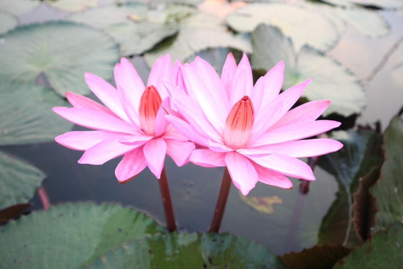 Lotus Lotus Flower Thailand Thailandtravel Udonthani Lake Redlotuslake Redlotus Flower Eosm10