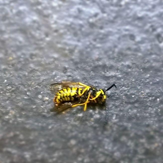 Wasp Bugs Lumia 1020 wpphoto