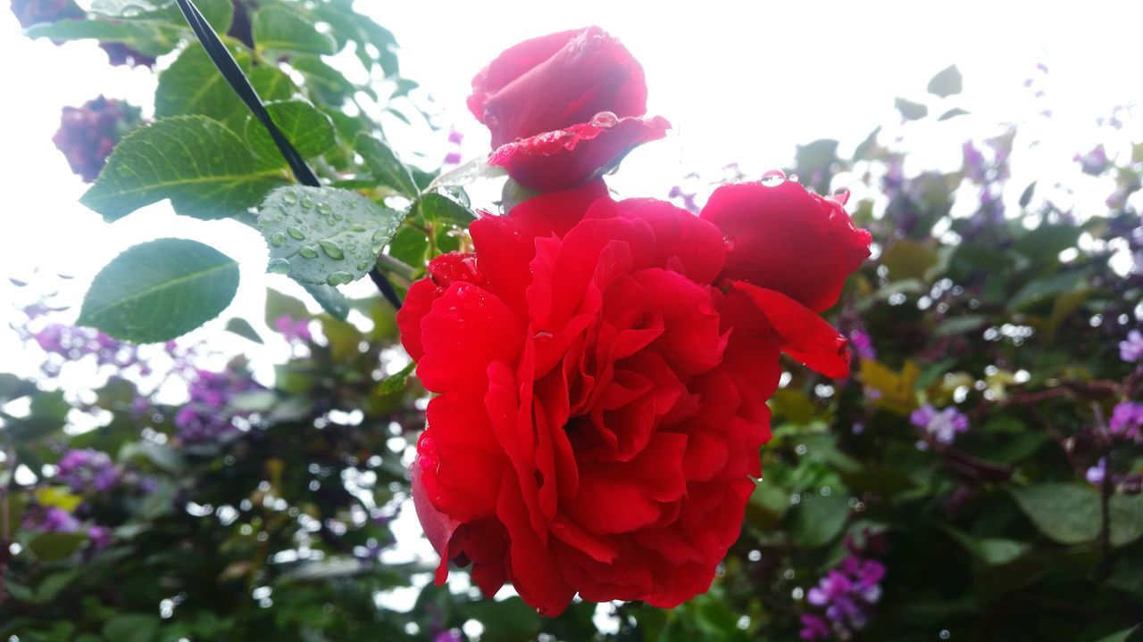 Red Growth Nature Flower Leaf Beauty In Nature Outdoors Freshness Close-up Day Rose🌹 Roses🌹 Roses Flowers  Rose - Flower Flowers After Rain Afterrain After Raining Roses Roses Are Red