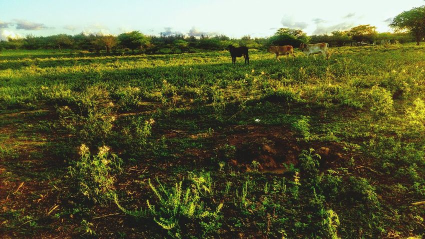 Cows Cows!!! Cow Green Taking Photos Nature Check This Out In Contact With Nature Brazil Beautiful View