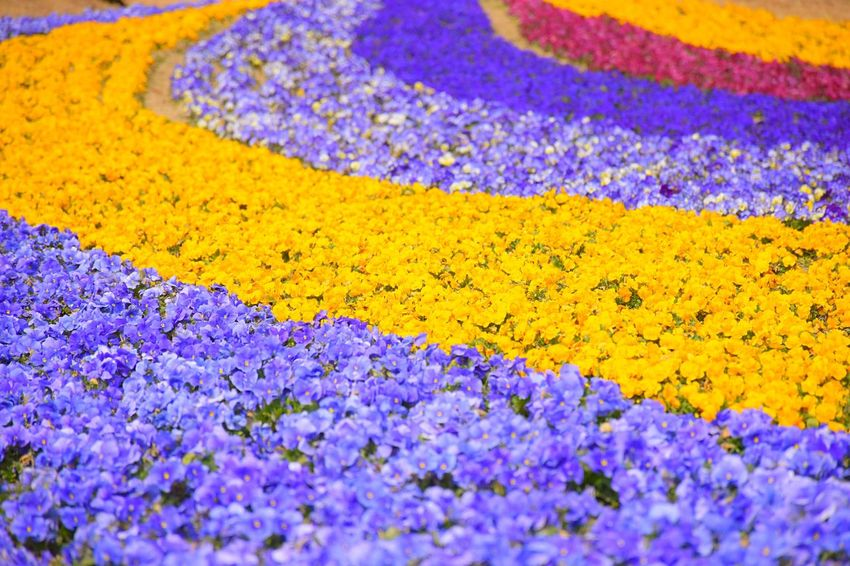 many colors in the flower garden Colorful Spring Flowers Yellow Blue Purple Landscape Lovely Good Weather Garden Showcase March Nikon Japan