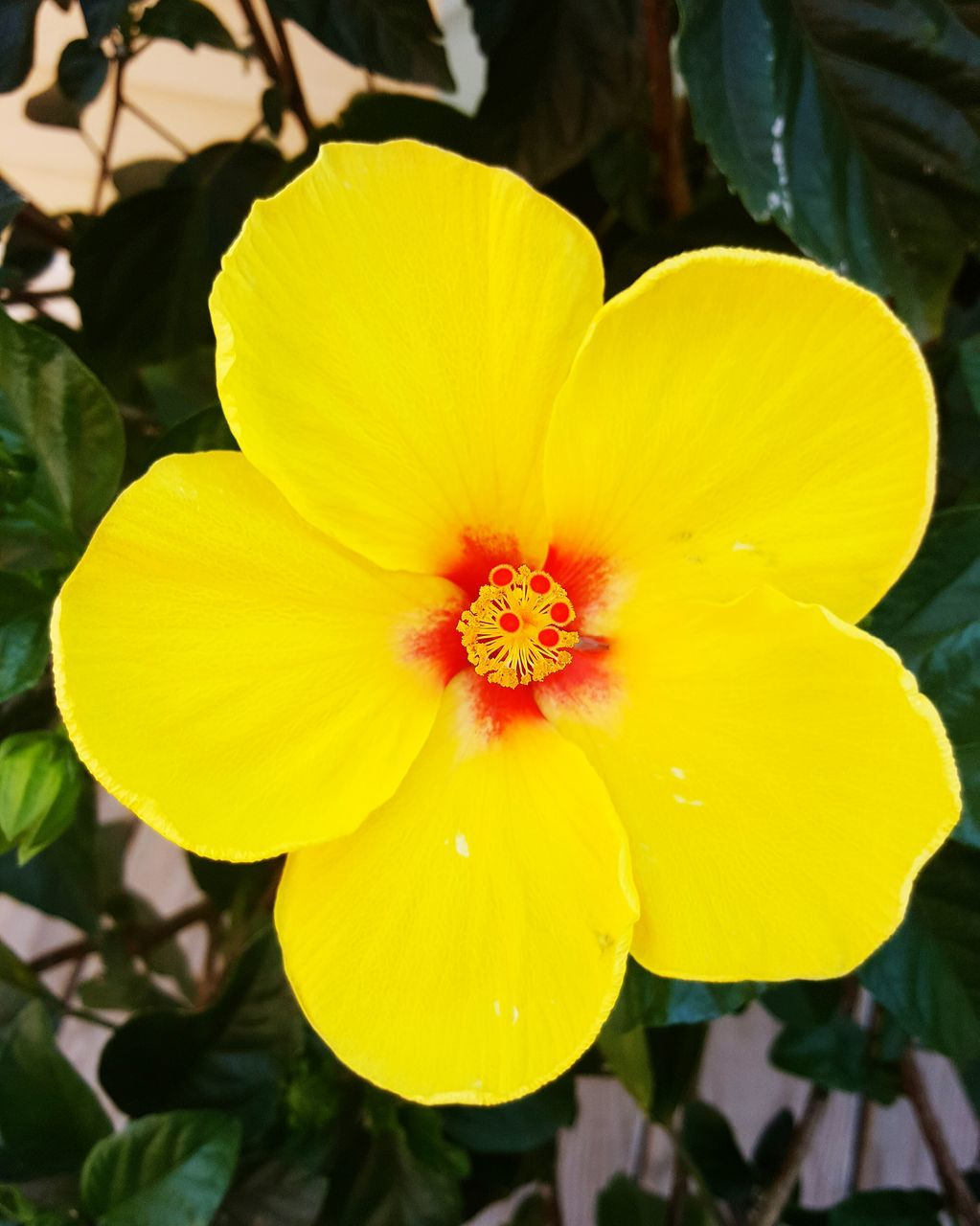 flower, yellow, petal, beauty in nature, fragility, flower head, nature, freshness, growth, blooming, plant, outdoors, vibrant color, day, close-up, no people, springtime, pansy, hibiscus