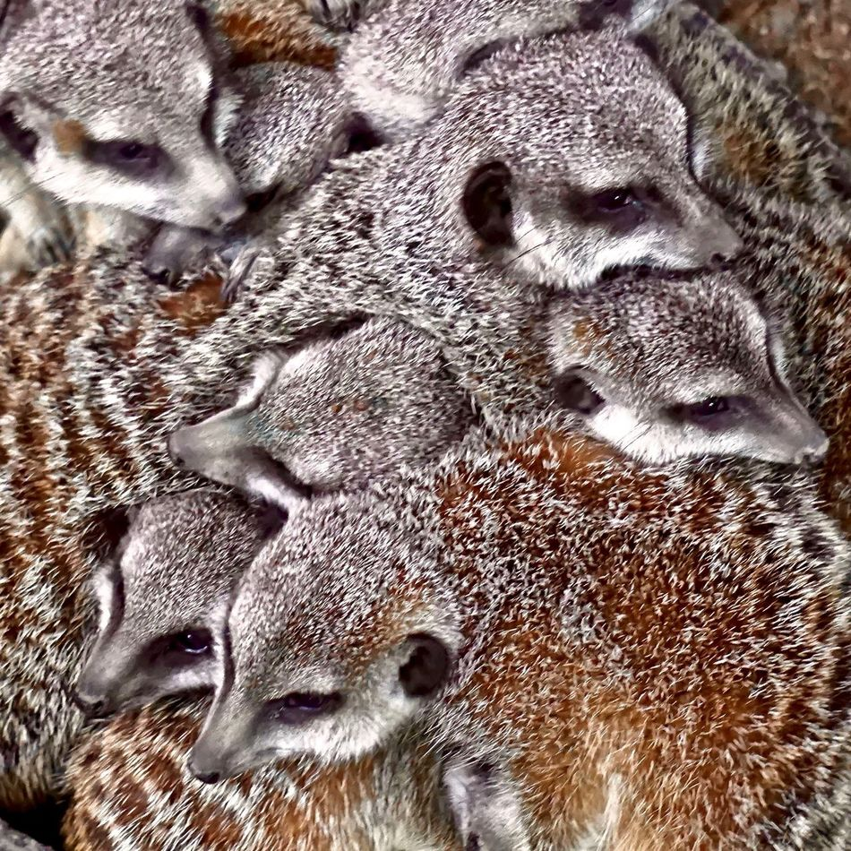 A huddle of meerkats at the zoo Animal Themes Animal Wildlife Backgrounds Close-up Cuddle Cute Day Fur Furry Group Huddle Mammal Meercat  Nature No People Outdoors Zoo