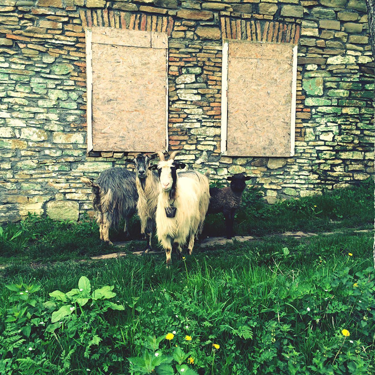 Hei mate! Sup? Goat Animals