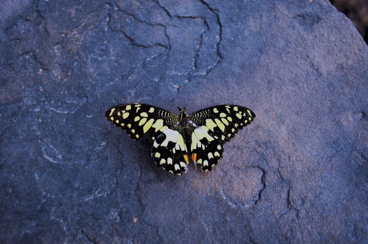 animals in the wild, animal themes, butterfly - insect, insect, one animal, animal wildlife, butterfly, nature, animal markings, outdoors, day, no people, high angle view, close-up, beauty in nature