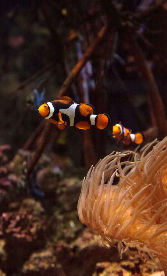 Clownfish, Amphiprioninae, in a marine fish and reef aquarium, staying close to its host anemone Amphiprioninae Anemone Anemone Fish Animal Themes Clownfish Coral Reef Day Fish Marine Fish Marinefish No People Ocean Orange And White Fish Orange Fish Reef Sea Swim Underwater