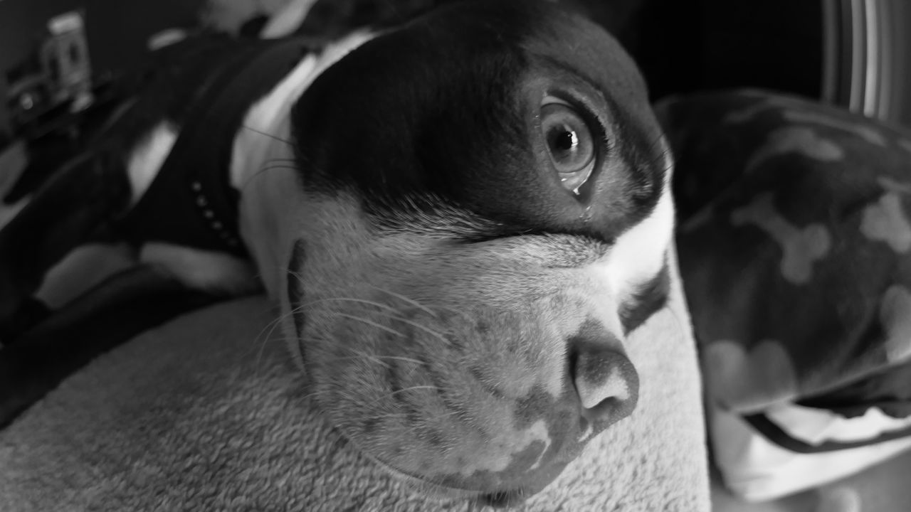 Puppy Close-up Macro Macro Photography Macrophotography Puppy Love Daydreaming Boston Terrier Macro Beauty Dog PuppyLove Puppy❤ Dog Lover Pet DogLove Dog❤