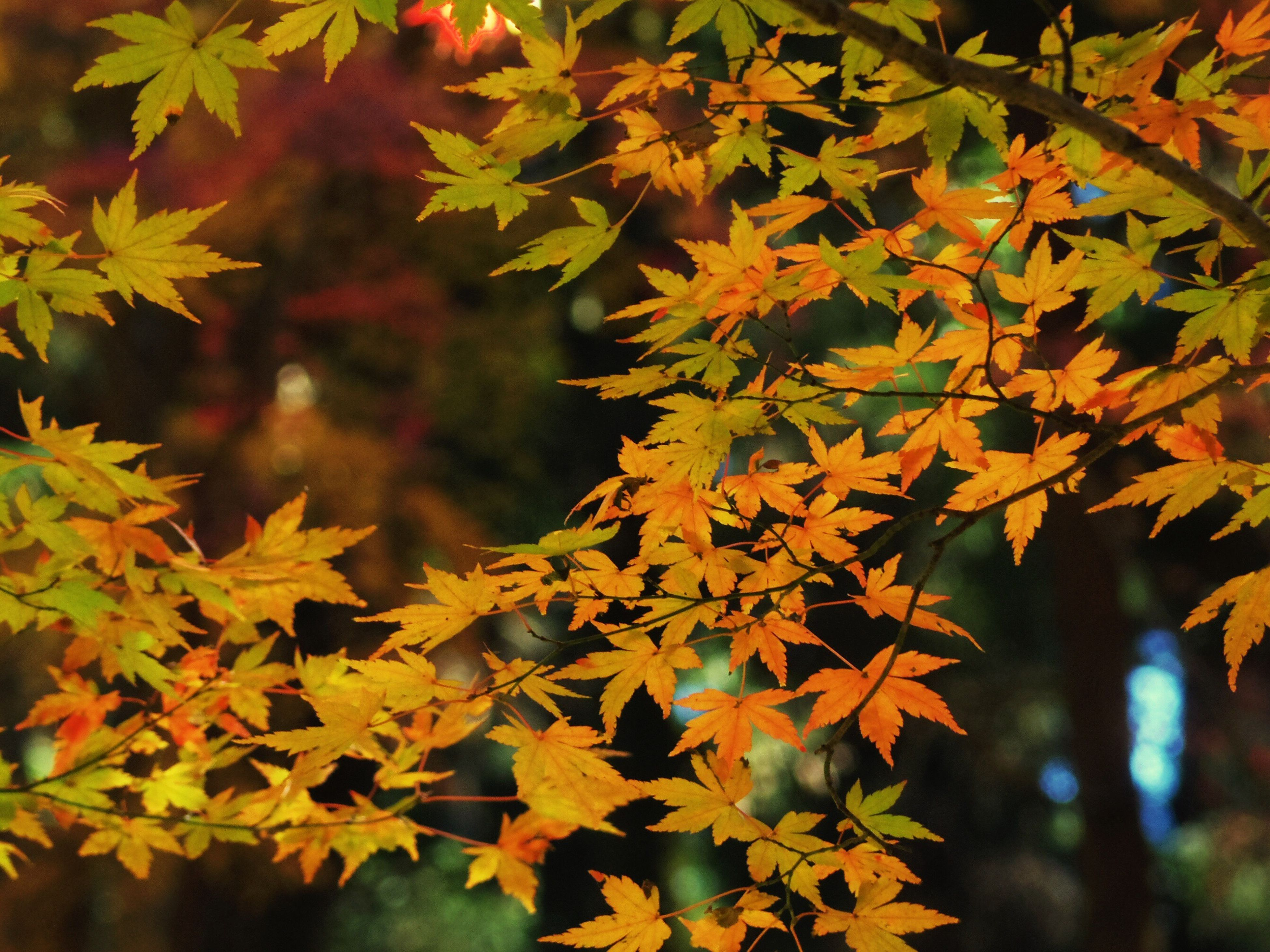 autumn, leaf, change, maple leaf, nature, maple tree, growth, tree, maple, branch, beauty in nature, close-up, no people, outdoors, leaves, yellow, day