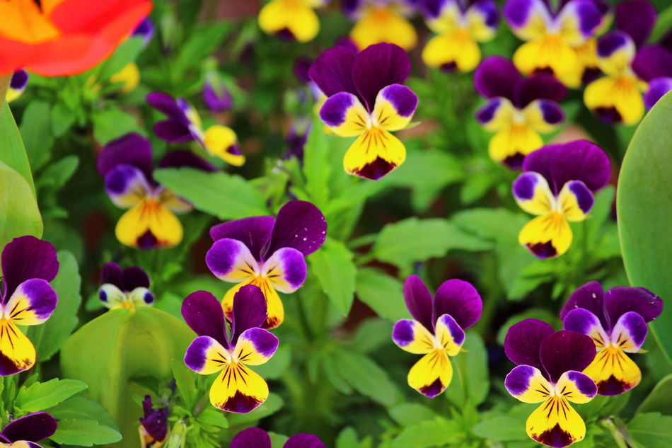 Beauty In Nature Blooming Close-up Day Flower Flower Head Fragility Freshness Growth Nature No People Outdoors Pansy Pansy Flower Petal Plant Purple