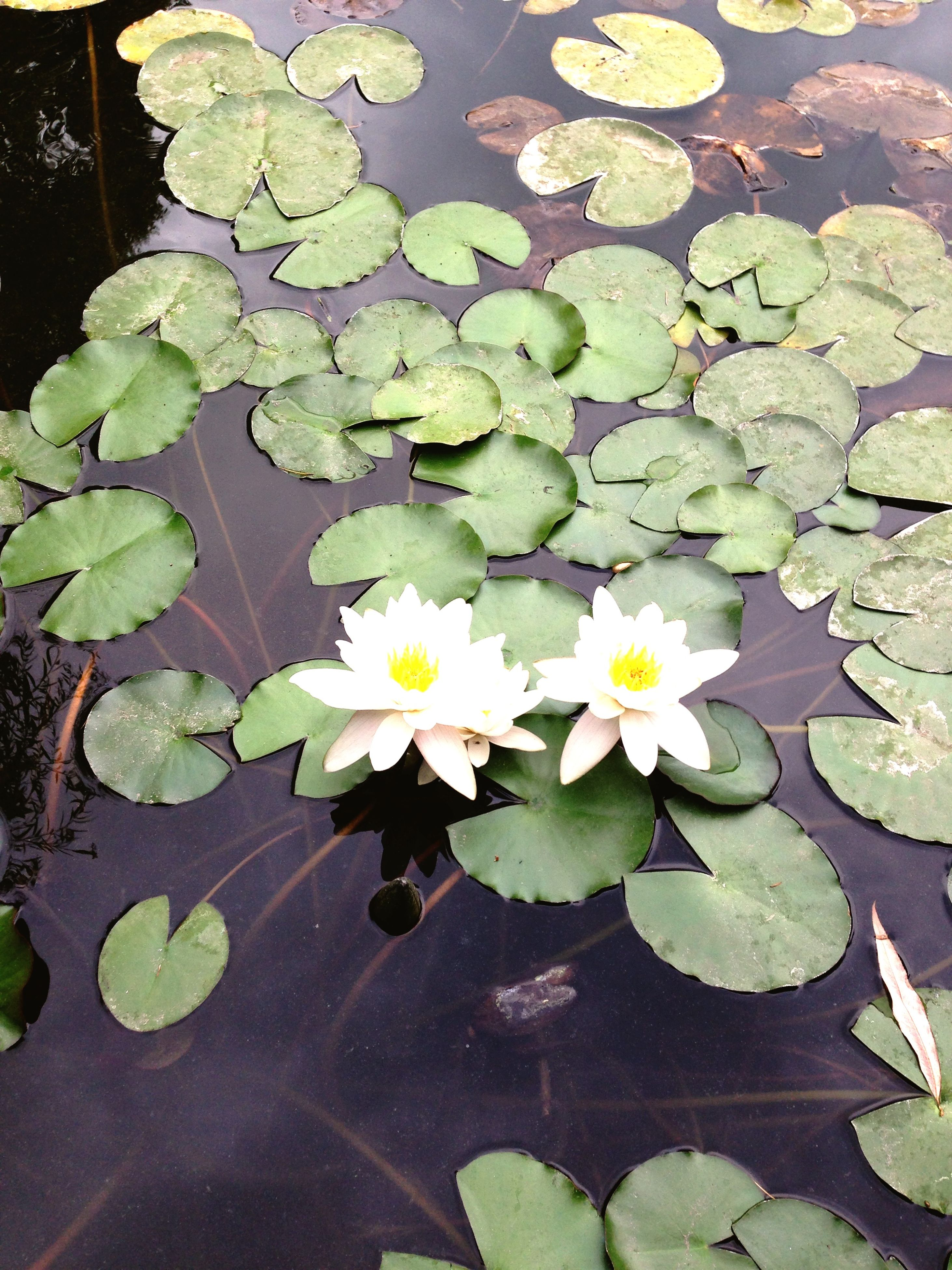 flower, leaf, water lily, petal, pond, floating on water, fragility, freshness, high angle view, water, growth, flower head, beauty in nature, plant, nature, lotus water lily, blooming, white color, green color, lake