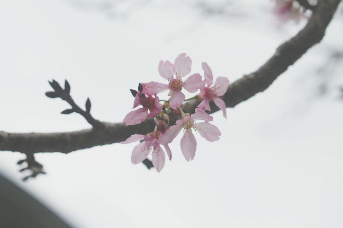 櫻花 九族文化村