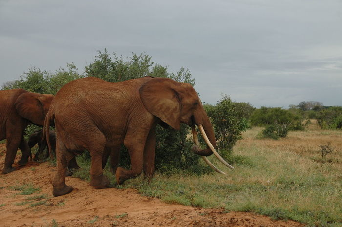 Animal Animal Themes Animals In The Wild Arid Climate Day Elephant Full Length Kenya Mammal Remote Safari Animals Side View Standing Tropical Climate Tusk Two Animals Walking Wildlife