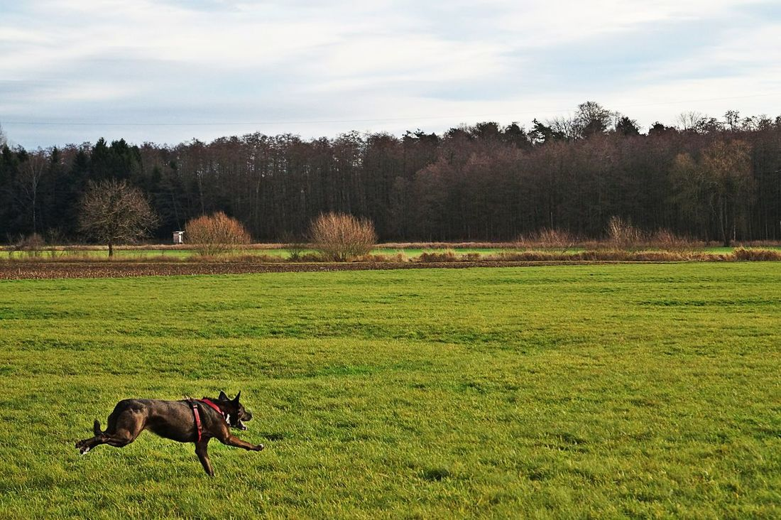 Speeding Speedphotography Fast Runner Fast Dogs Muscles Happy Dogs 🎵I believe she can fly🎵 Tadaa Community Nature Countryside My Dog Is Cooler Than Your Kid. Power I Love My Dog Langenselbold Photography In Motion