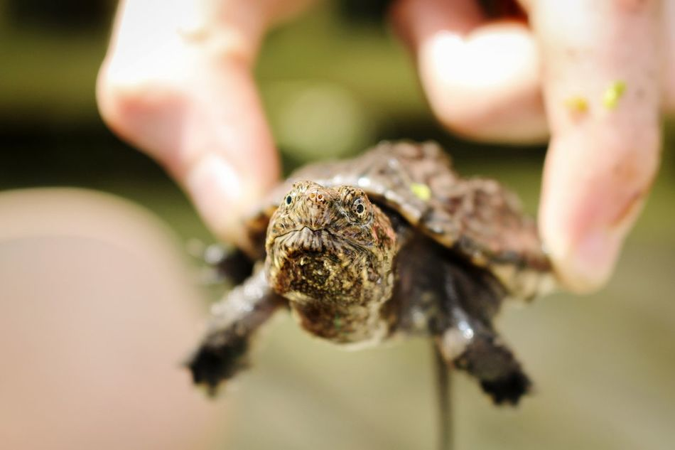 Beautiful stock photos of turtle, Animal Themes, Animals In The Wild, Cropped, Day