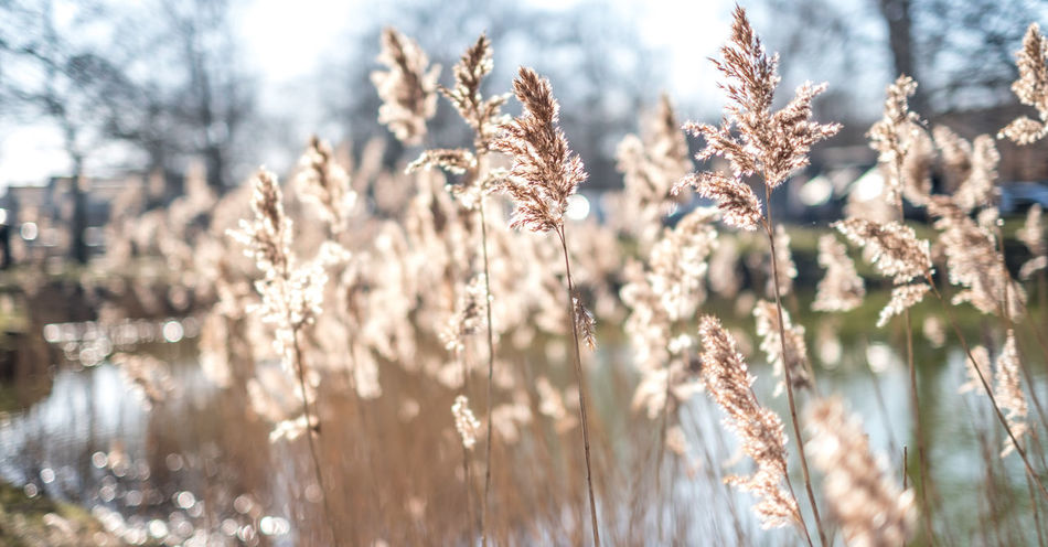 Agriculture Beauty In Nature Bokeh Bokhe Cereal Plant Close-up Cold Temperature Copenhagen Copy Space Day Field Flower Fragility Freshness Growth Nature No People Outdoors Plant Rural Scene Sunlight Tree Winter