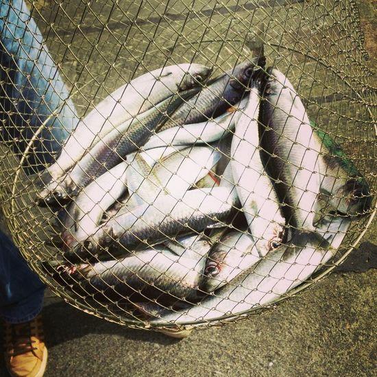 Hering Fisch Angeln Fischernetz Fishing Baltic Sea Herring Fishing