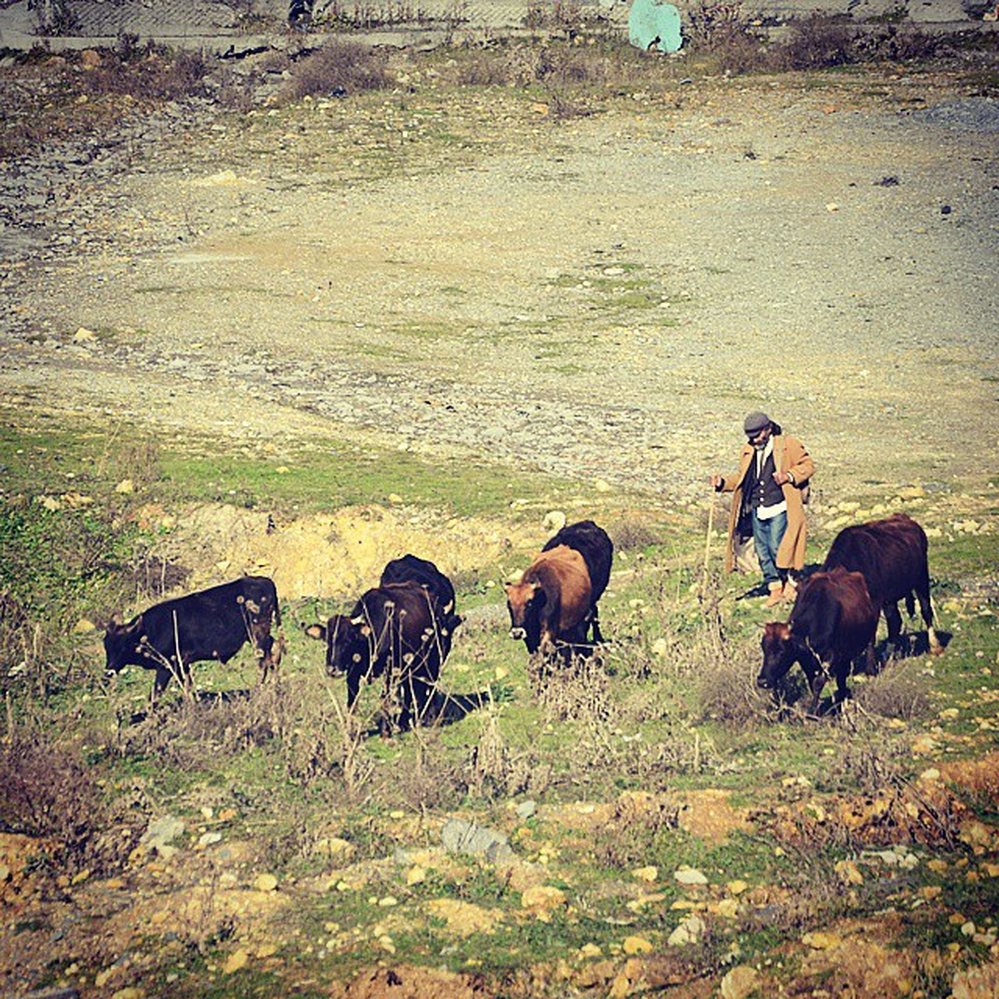 animal themes, domestic animals, livestock, mammal, field, horse, grass, medium group of animals, grazing, herbivorous, cow, landscape, working animal, two animals, togetherness, nature, domestic cattle, standing, four animals