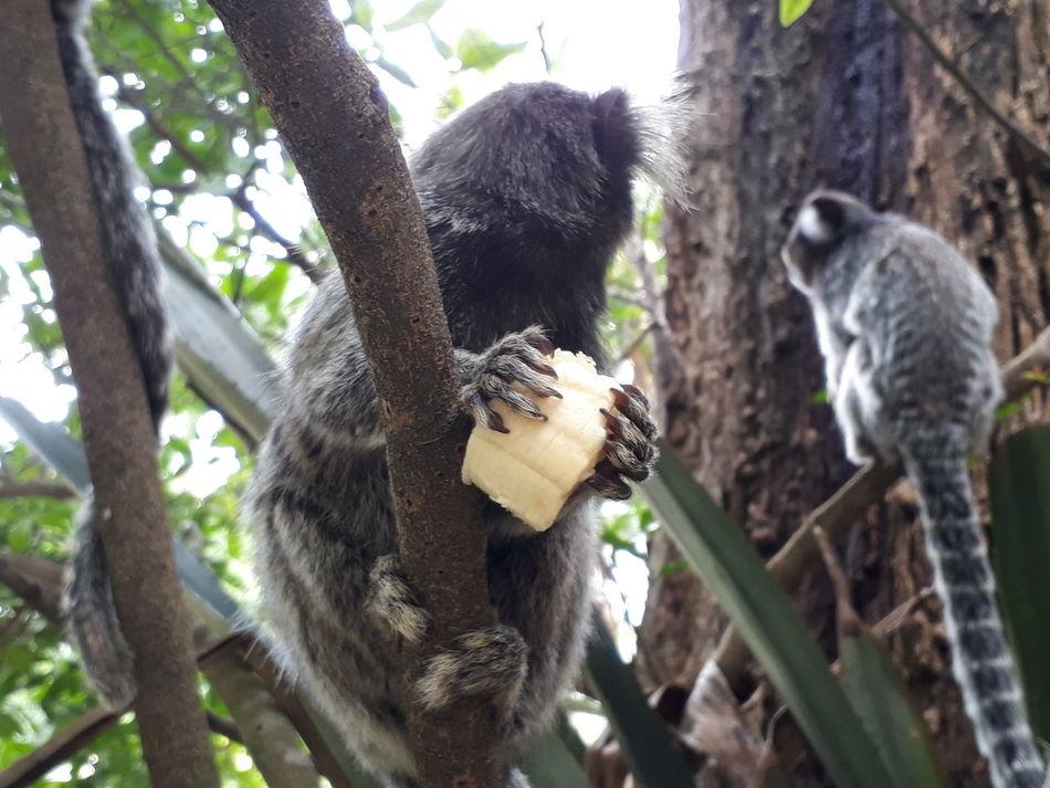 Tree Animal Themes Mammal Animals In The Wild No People Primate Monkey Sagui Saguidetufobranco Monkeys Mono Macacos