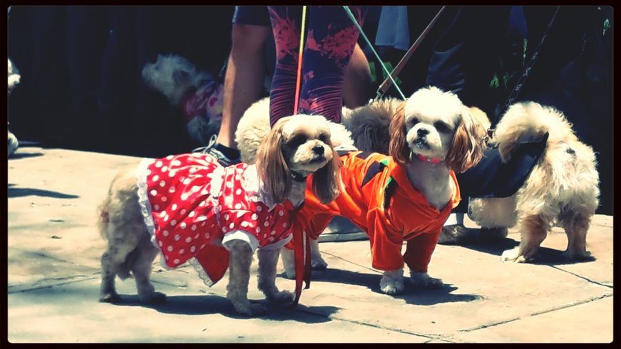 Haloween My Dogs Are Cooler Than Your Kids