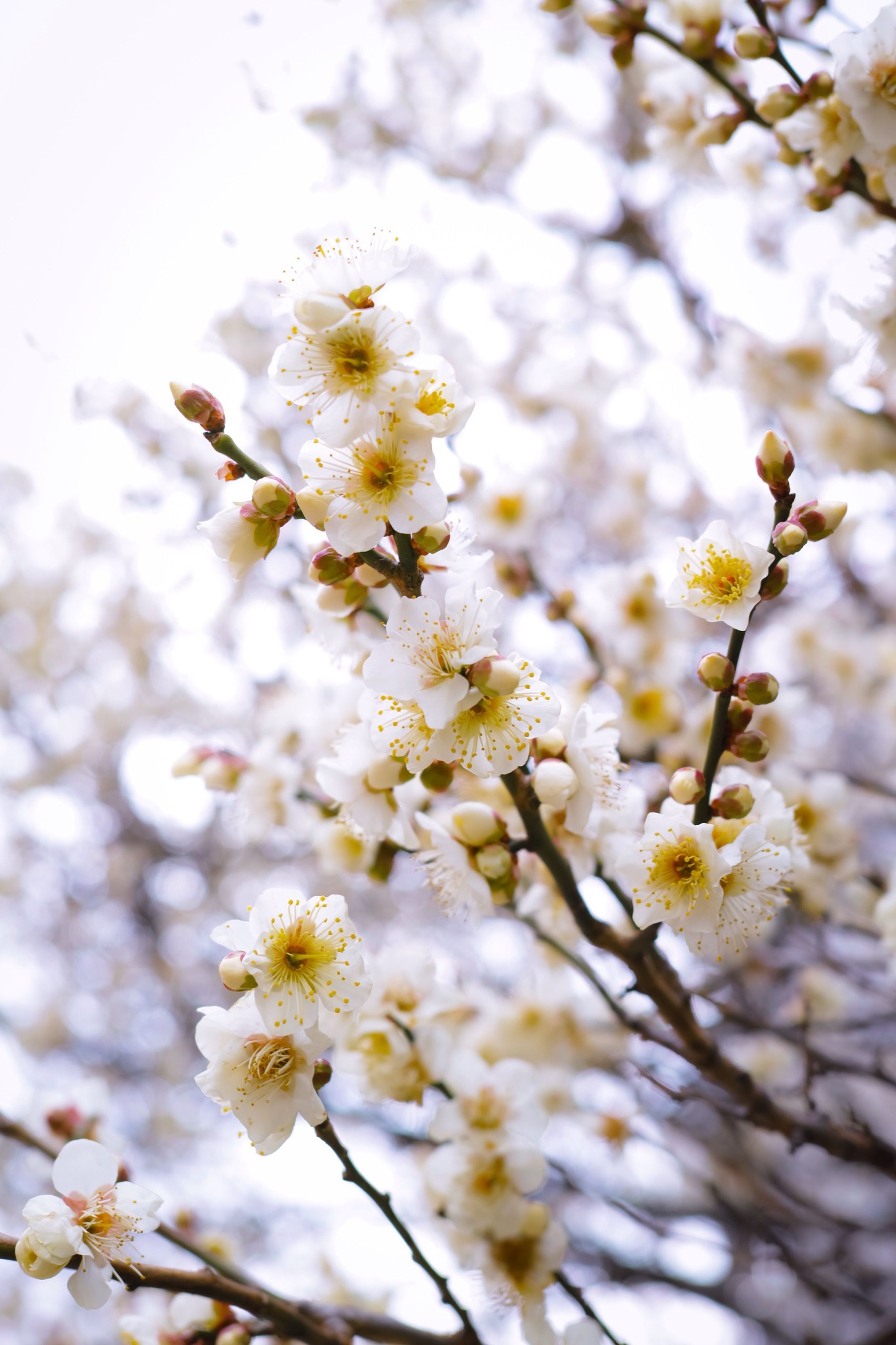 flower, freshness, growth, fragility, white color, branch, tree, beauty in nature, nature, blossom, petal, cherry blossom, blooming, focus on foreground, close-up, in bloom, springtime, flower head, season, low angle view
