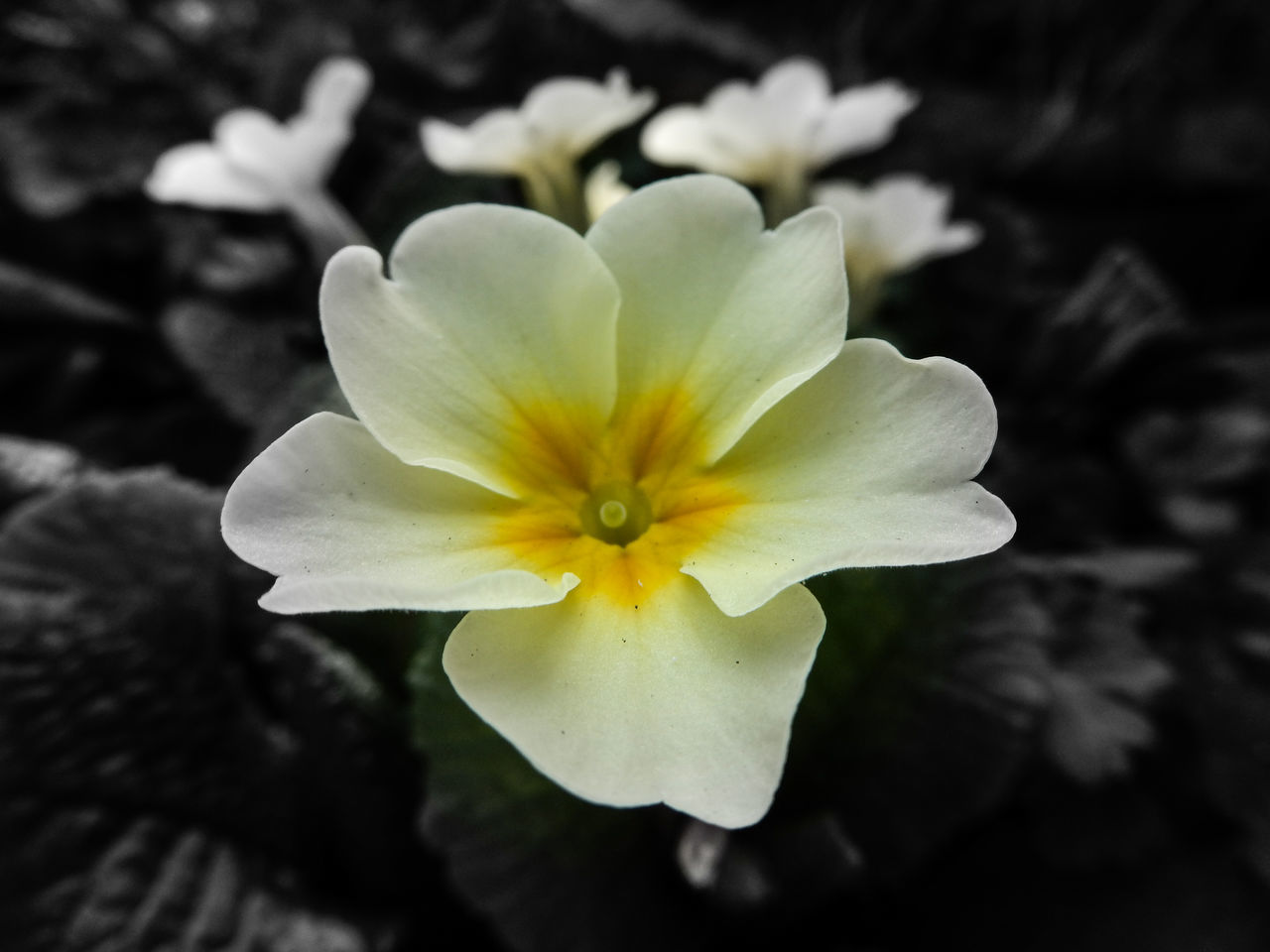 I love wild primroses. Beauty In Nature Blooming Close-up Colour Splash Day EyeEm Nature Lover Flower Flower Head Fragility Freshness Growth Nature No People Outdoors Petal Pollen Primrose Wild Flowers Yellow