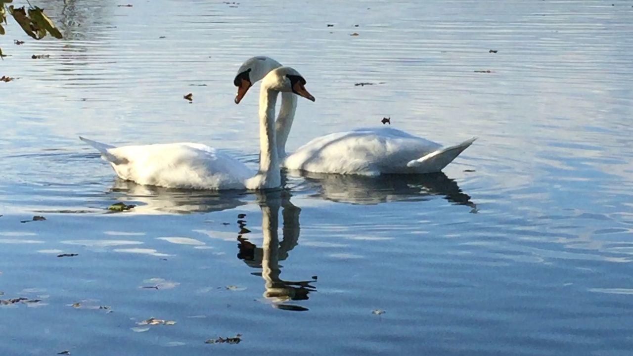 Schwan  Schwäne Swan Swans
