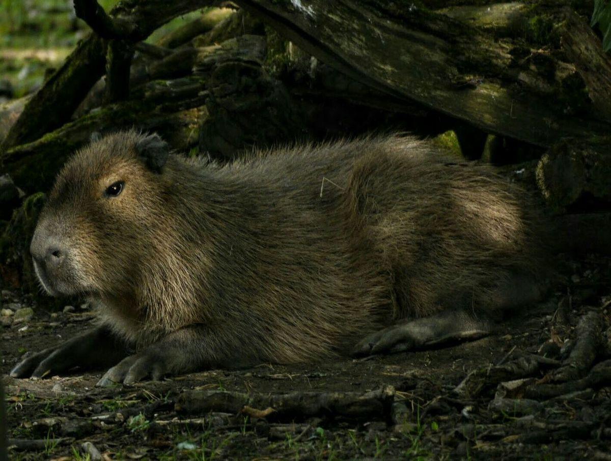 Capybara Zoo Zoo Animals