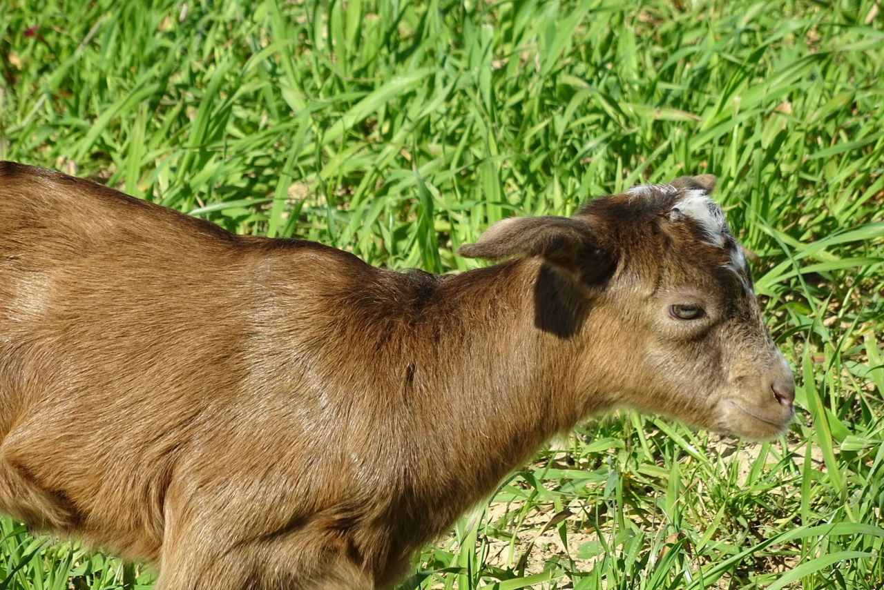 Animal Themes Chèvres Chevreau