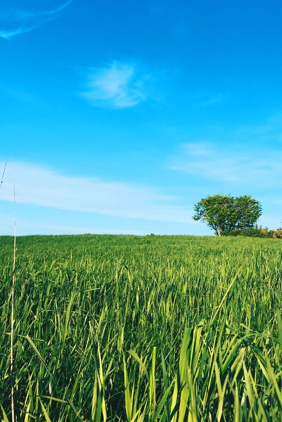 Agriculture Growth Field Crop  Farm Sky Cereal Plant Nature Rural Scene Landscape Blue Green Color Day No People Tranquility Beauty In Nature Wheat Grass Outdoors Plant