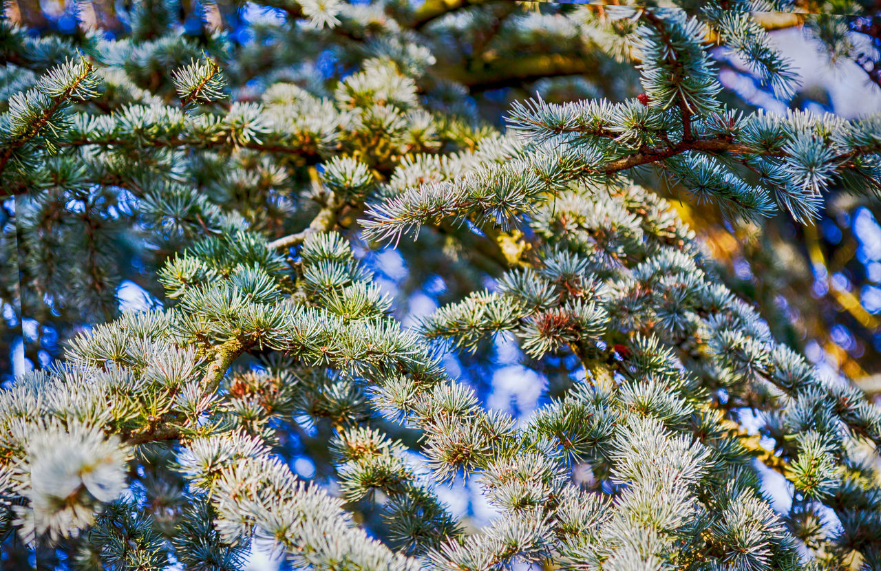 evergreen branch of a tree in winter Beauty In Nature Branch Close-up Day Evergreen Growth Low Angle View Nature Needle - Plant Part No People Outdoors Pine Sky Tranquility Tree
