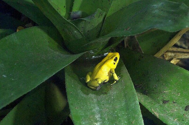 Goldenposionarrowfrog Arrowfrog Frog Posionarrowfrog Posion Yellow