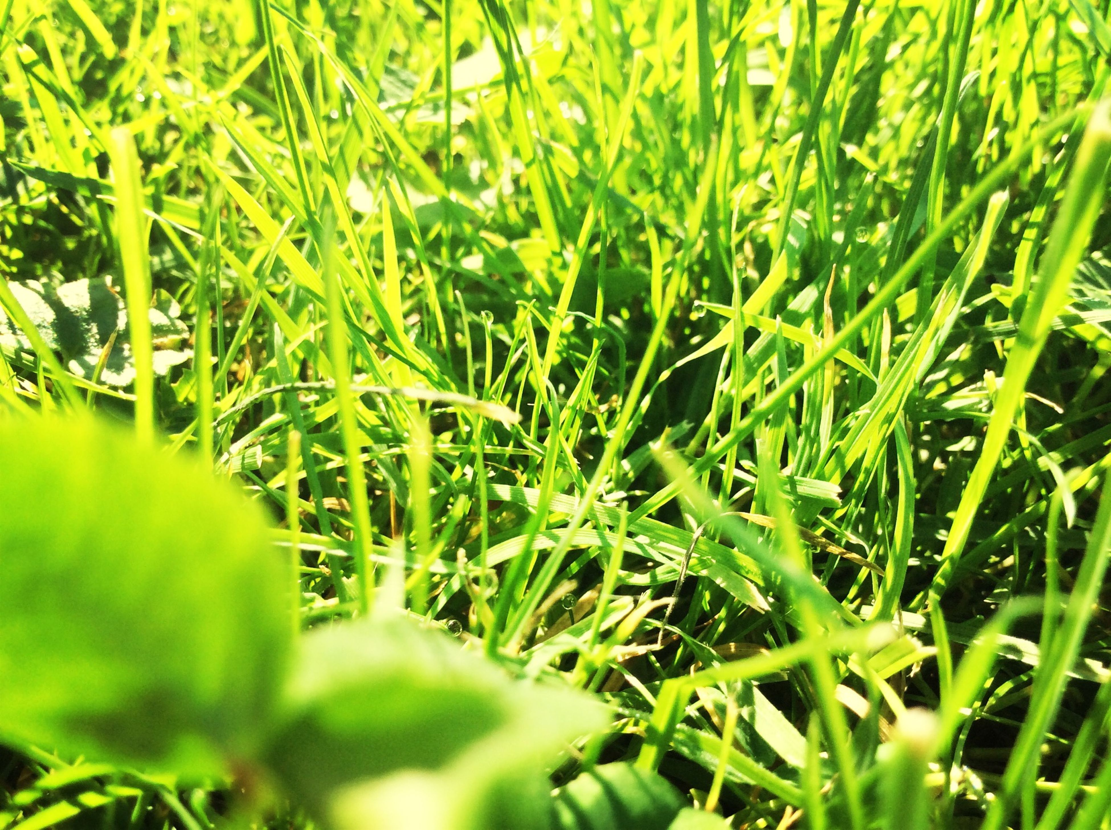 green color, growth, grass, nature, field, plant, blade of grass, beauty in nature, lush foliage, full frame, tranquility, green, selective focus, close-up, backgrounds, leaf, freshness, day, outdoors, no people