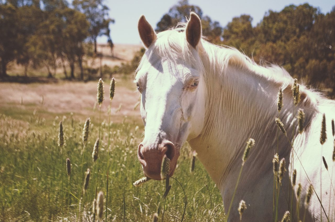 domestic animals, animal themes, mammal, horse, livestock, field, one animal, herbivorous, grass, outdoors, nature, day, no people, landscape, rural scene, tree, sky