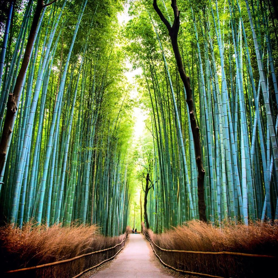 Beautiful stock photos of japan, Abundance, Bamboo Grove, Beauty In Nature, Day