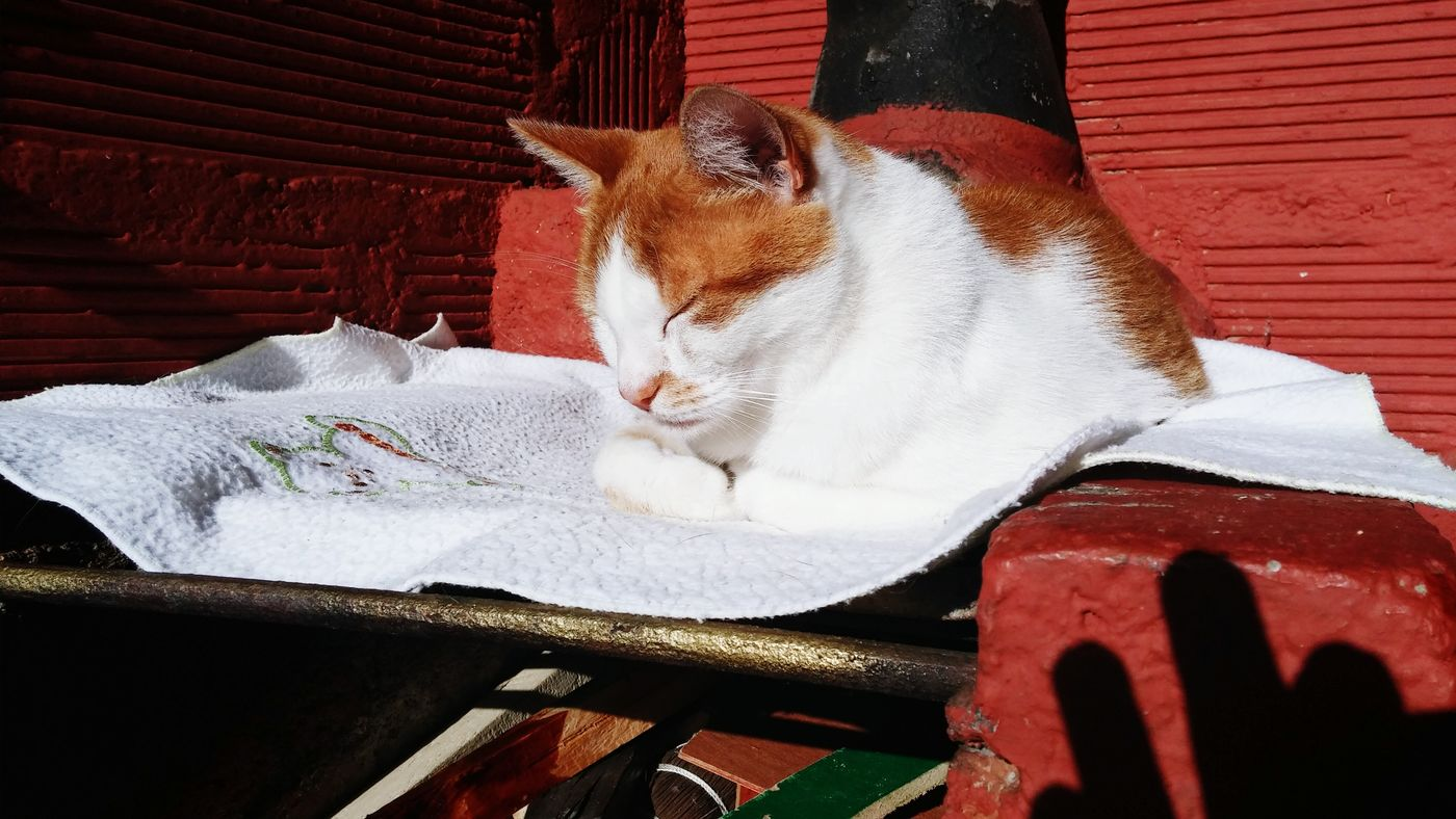 Cat Guarne Resting Sunlight Colombia Pets