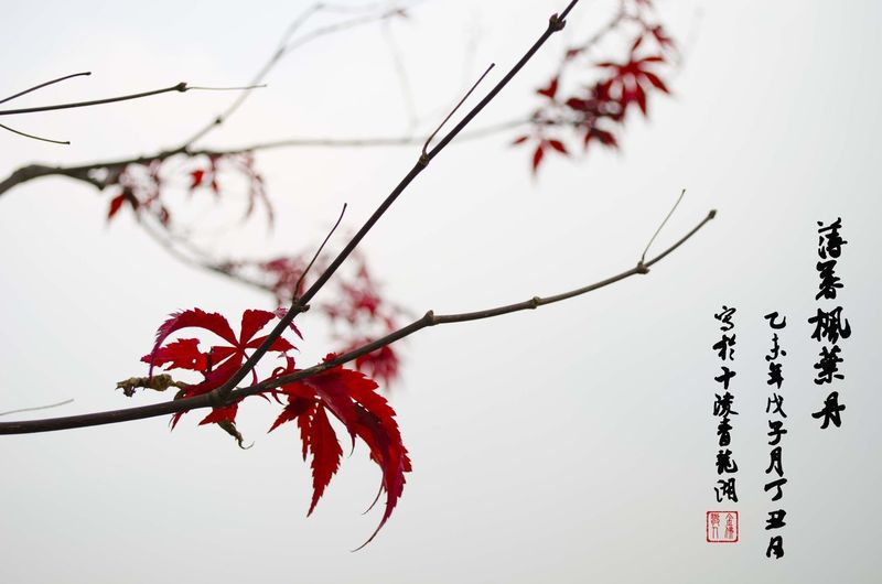 A piece of Chinese painting for maple leaf Chinese Painting Chinese Style Maple Leaf Photography Chengdu China China ArtWork Art Fine Art Photography