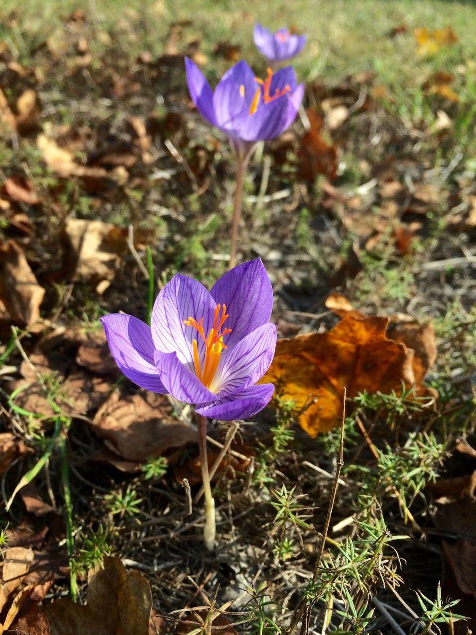 Autumn crocus! Autumn Colors Autumn Crocus Close-up Crocus Crocus Flower Flower Fragility Freshness Nature Outdoors Petal Plant Purple