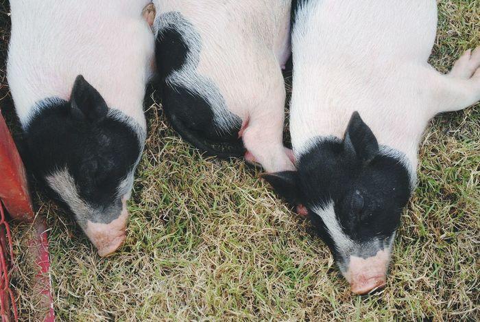 Pig Piglets Sleep Piggy Fame Blackandwhite Relax Laze Animals Cute