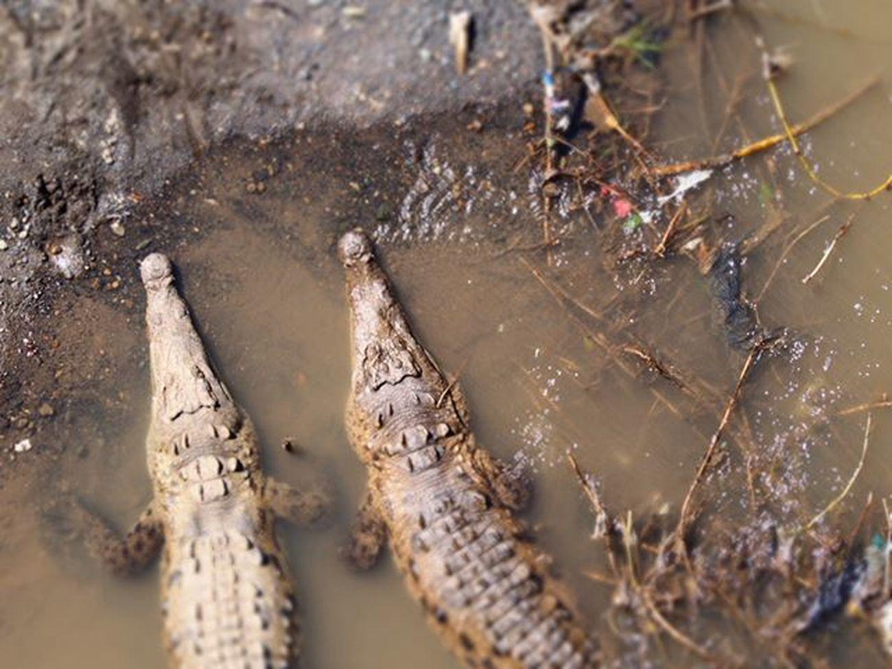 Crocodiles in a river we passed over heading to Manuel Antonio, Costa Rica ---------------------------------------- Manuelantonio Exploremanuelantonio Costarica Explorecosta Crocodile Croc Bigcroc Crocs Nature Naturelovers Naturephotography Wanderlust Travel Travels Travelling Instatravel Wanderlust Gadventurestour Gadventures Peasinapod Olympus Wildlife Wild Reptiles Reptilesofinstagram