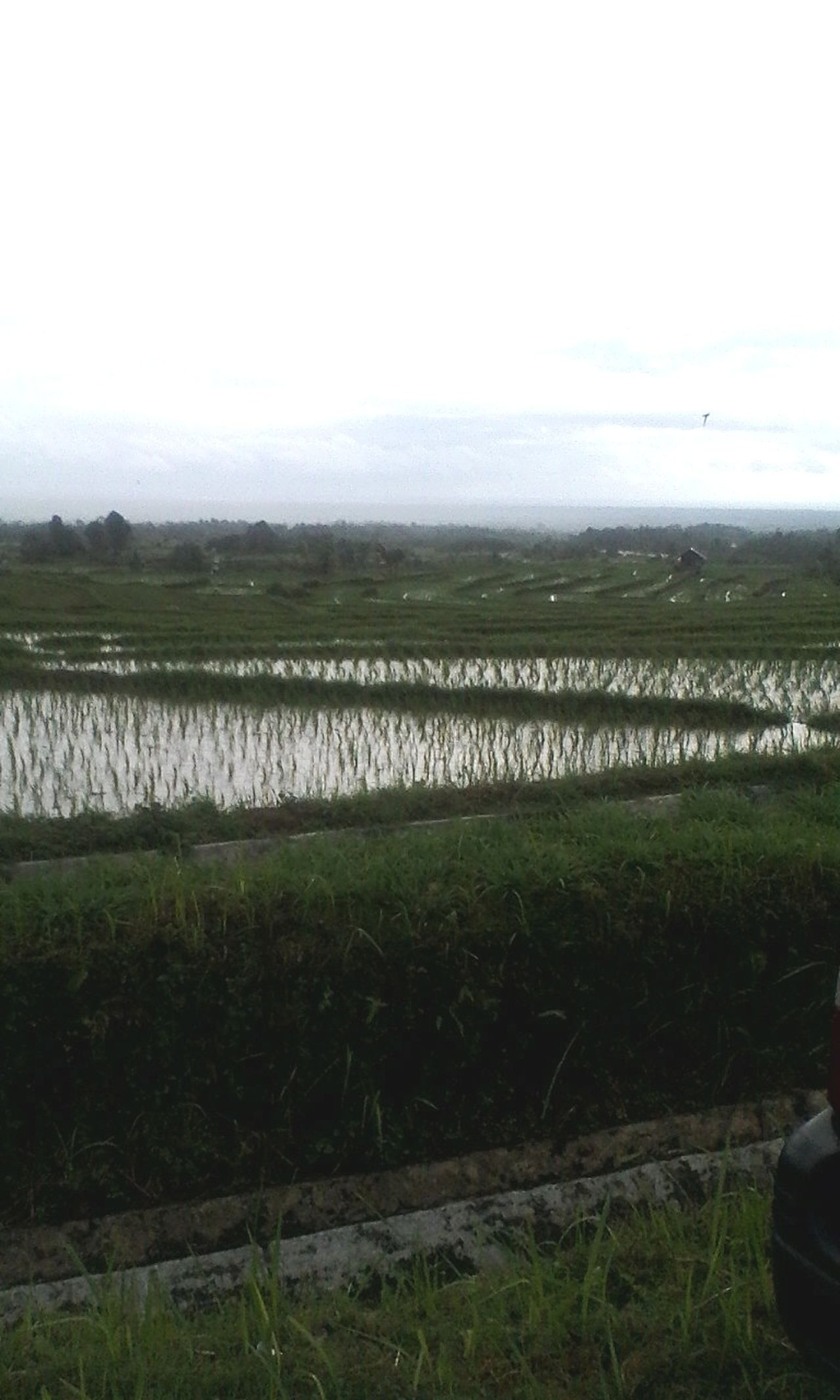 Traveling Home For The Holidays Agriculture Rural Scene Farm Growth Landscape Nature Crop  Field Cloud - Sky Beauty In Nature Green Color Tranquility Outdoors Rice Paddy FreshonEyeem Vacations INDONESIA