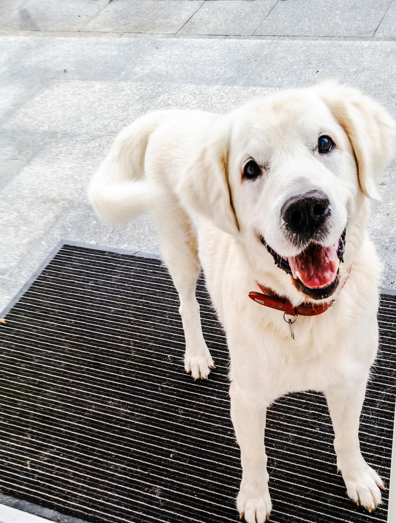 Beautiful stock photos of golden retrievers, Animal Themes, Day, Dog, Domestic Animals
