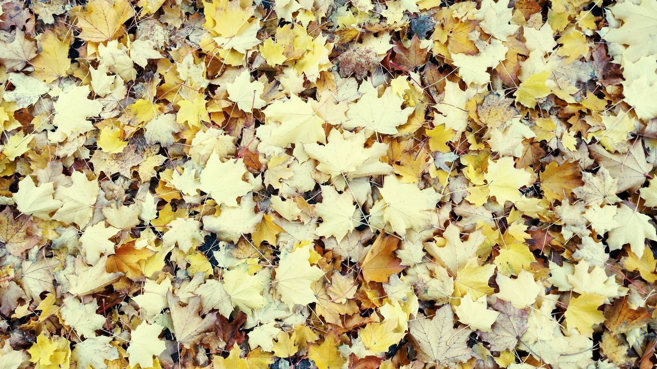 autumn, change, leaf, yellow, leaves, dry, abundance, nature, backgrounds, maple, full frame, maple leaf, fallen, fragility, day, beauty in nature, no people, outdoors, large group of objects, close-up