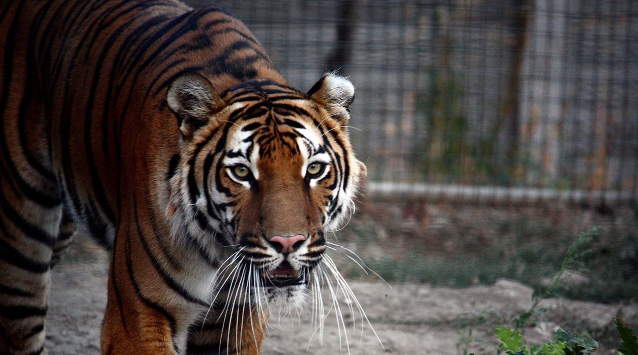 Tiger Zoo Captivity Nervous Orange And Black Dangerous Living On The Edge Tiger Tiger Burning Bright