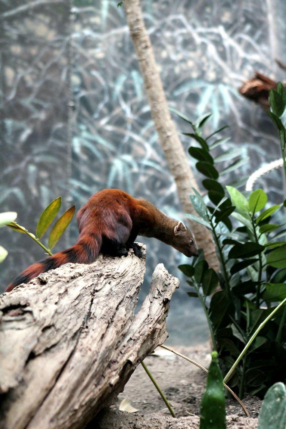 Fire Ferret Mammel Zoo Animal Rodent Log