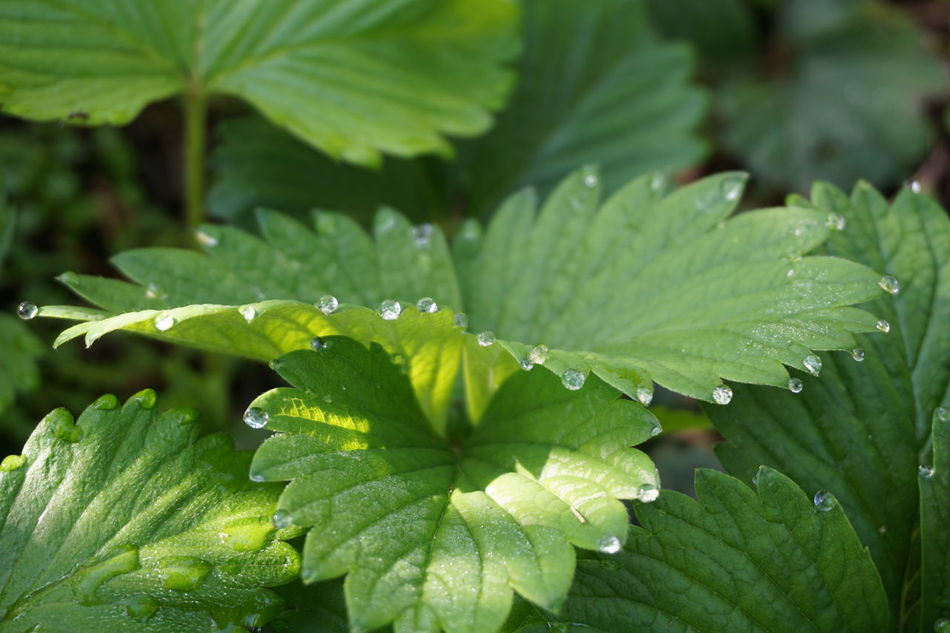 Wild Strawberry in Garden Leaf Green Color Dew Drops Growth Nature Close-up Beauty In Nature Freshness No People Sunlight Reflection Plant Water Tautropfen EyeEmNewHere EyeEm Nature Lover EyeEm Best Shots Fragility Beautiful Nature